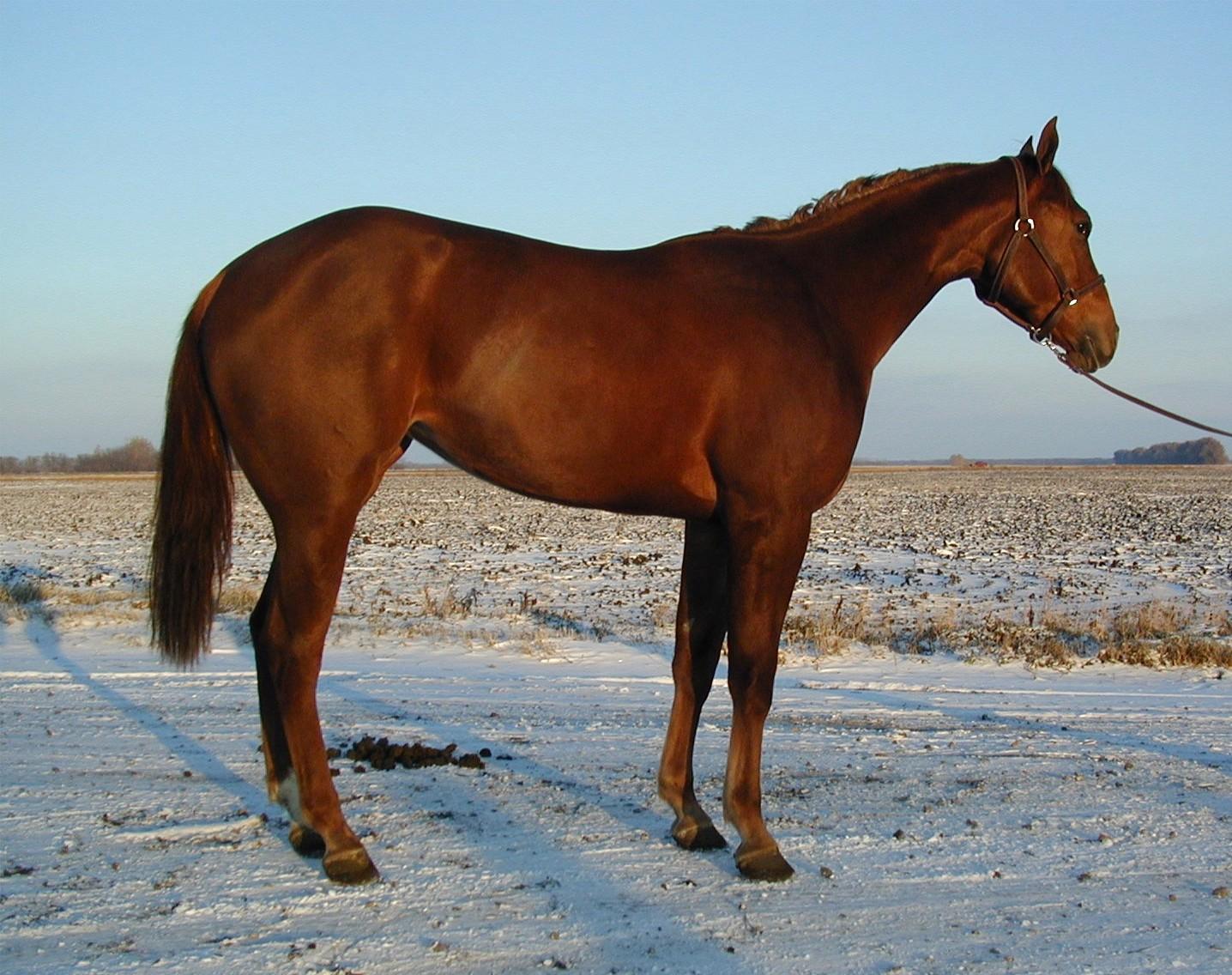 Denvers Boo Tee 2000 AQHA sorrel mare